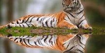 Awesome Tigers (Ôhymásh Dhènsély'h)