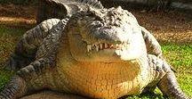 Amazing Crocodiles (Ôhymásh Rhamyàr'i)