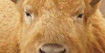 Beauty Bisons (Ôhymásh Rhènyon'i)