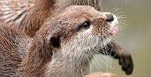 Lovely Otters