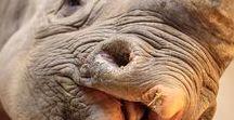 Amazing Rhinos (Ôhymásh Búndhrai'h)
