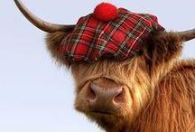 Amazing Highland Cattles