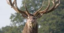 Amazing Deers
