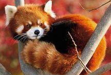 red panda / my love / by Akel Helen