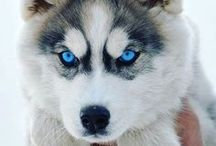 Huskies / Little adorable and goofy snow doges <3