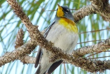 Leica Digiscoping / Interesting and beautiful birds captured through the lens of a Leica Digiscope. / by Leica Birding