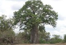 Favourite Baobab Trees / Great Trees