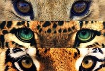 Tigers, Leopards & Lions
