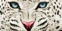 Roofkatten / Cheeta's Tijgers Lynxen enz. staan hier op ik persoonlijk vind deze grote katten erg mooi