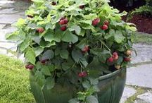 Fruit, Vegetable and Herb Container Gardens