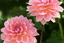 Flower Focus: Dahlias