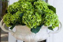 Flower Focus: Hydreangea