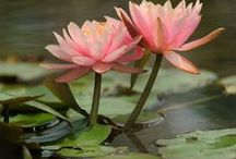 Flower Focus: Water Lily