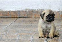 Mopsi / koira, dog, pug