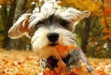 Too Cute {Schnauzers!!}