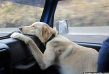 Dogs in Cars / Redic photos of dogs on the road