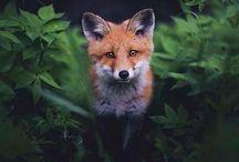 Love Them Foxies!