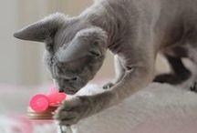 Chats en action - Chat chasse ! / Regard Félin La Boutique présente ses chats testeurs et leurs amis en pleine action avec les jouets...chat chasse !