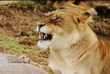 Lioness warrior