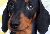 I love dachshunds / Dachshunds