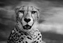 BORN TO BE WILD / Lions,tigres,panthères,léopards...
