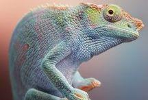 Chameleons, lizards & co / caméléons, lézards et compagnie