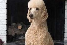 Poodle fun / by Kendra Weddle
