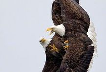 "American  """"EAGLE"""" / Pictures of majestic eagles. / by Rick Adams"