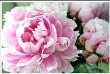 For The Love of Peonies / by Joanne West