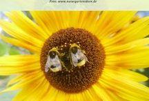 Bienenfreundlicher Garten / Naturgarten für Bienen, Hummeln im Garten, Wildbienen unterstützen, Pflanzen für Bienen, Bienenschutz