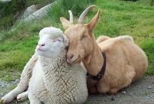 Fauna: Goats / by Lee Hethcox