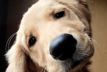 """Golden Retriever's / A collection of pictures of the Golden Retriever...  I loved my BlackLab """"Jack"""" and could never replace him with another Lab..So I will make this breed my next forever friend when I am ready."""