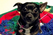 Susie Puppytoes / Say hallo to mah leetle friend!  Susie the purepred black brindle shorthair deerhead adjective modifier rescue chihuahua from Pawmetto Lifeline. http://www.projectpet.com
