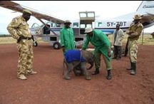 The DSWT // In Action / From translocations to rescues, watch the work we do in action here. / by David Sheldrick Wildlife Trust