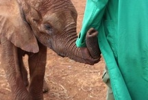 The DSWT // Lima Lima / Lima Lima was rescued by the DSWT on February 20th 2013, after being seen wondering alone, clearly distressed and very thin.  Thought to be one years old, she was orphaned by a recent poaching event that had occurred in the local area near to where she was found. She has since been  warmly welcomed by the 23 resident Nursery elephants, all of whom crowded around her stockade rumbling their greetings.  To foster Lima Lima visit: http://www.sheldrickwildlifetrust.org/asp/fostering.asp / by David Sheldrick Wildlife Trust