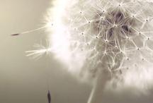 glitter & dandelions / make a wish
