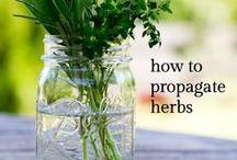 Kitchen Garden / Tomatoes | Peppers | Basil | Spearmint | Thyme | Cilantro