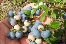 Home Grown, Fruits & Berries / growing and harvesting your berries and fruits / by Beverlee Orr-Shadbolt