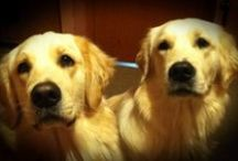 My Golden Retriever Puppies!