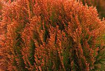Orange bushes