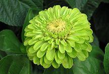 Green annuals