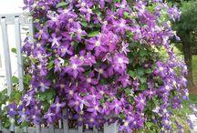 Lilac climbers