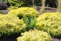 Bring Colours with conifers 2
