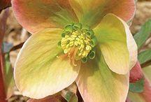 Helleborus; Shade- partial shade