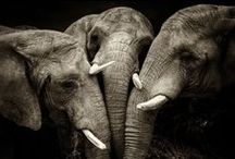 Elephants / by Kelley *