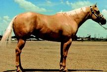 Horse Coat Color Genetics / Examples of all AQHA-recognized Quarter Horse coat colors. AQHA photos. / by American Quarter Horse Association (AQHA)
