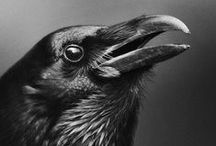 Corvidae / by Kelley *