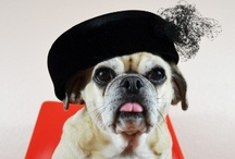 Puggle in Red Chair / Oates the Puggle in a red chair exploring fashion. / by Jen Quinlan