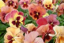 Pansies - Fall Guide to Annuals