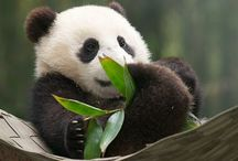 Pandas / by samantha K